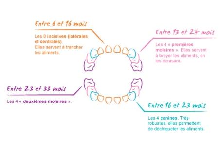 calendrier poussées dentaires bébé