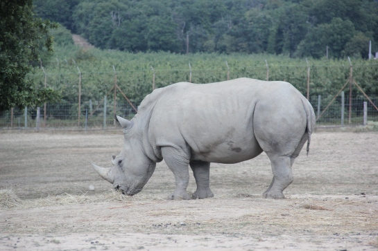 rhinocéros safari peaugres twinny mummy
