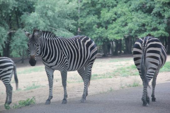 zèbres safari peaugres twinny mummy