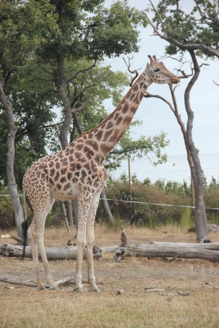 girafe safari peaugres twinny mummy