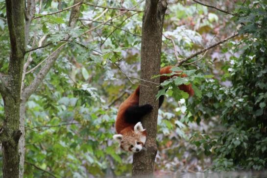 panda roux safari peaugres twinny mummy