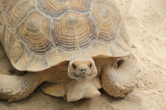 tortue safari peaugres twinny mummy