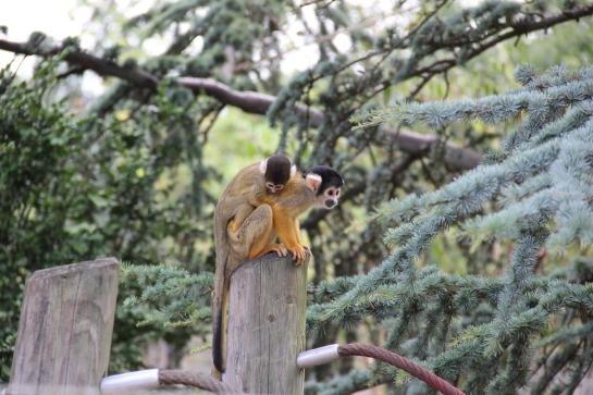 singe bébé porté safari peaugres twinny mummy