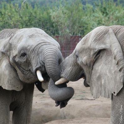 éléphant peaugres zoo twinny mummy
